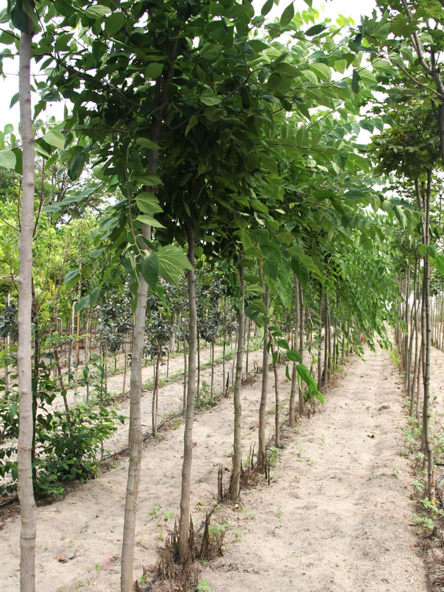 Szabadföldi termesztés